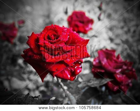 red rose on a black and white background