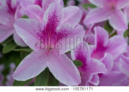 Azalea Flower Blooming, Beautiful Spring.