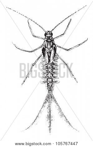 Magnified view of larva of the dayfly, vintage engraved illustration.