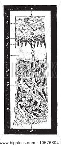 Magnified section of the human skin, showing perspiratory gland, with its duct, vintage engraved illustration.