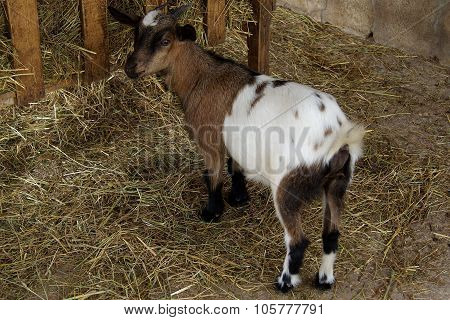 Goat eating hay on the farm