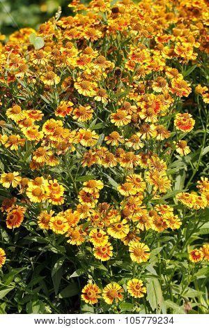 Blanket Flowers (gaillardia Aristata)