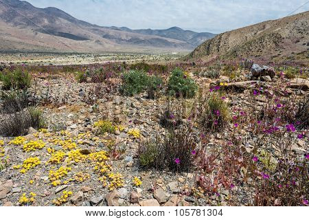 Flowering Desert In The Chilean Atacama Desert