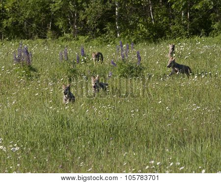 Wolf Puppies Romping in Meadow