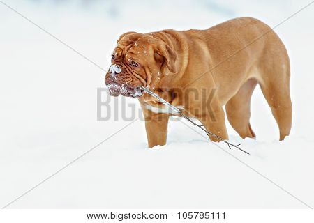 Dog Bordeaux dog