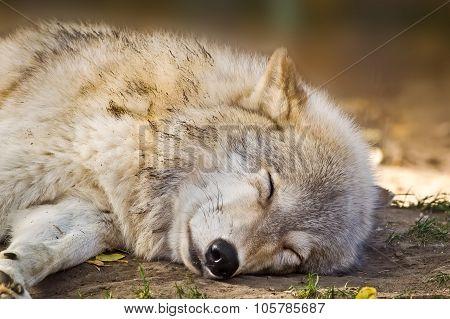 Grey Wolf Sleeping