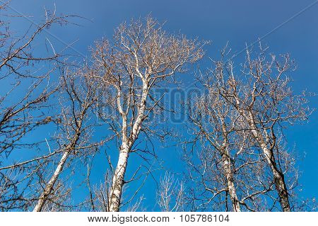 Tall And Leafless Birch