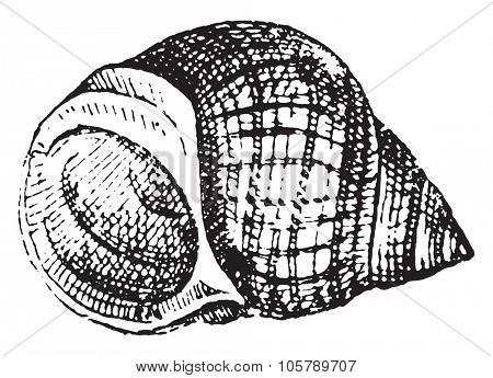 Common periwinkle, vintage engraved illustration. Dictionary of words and things - Larive and Fleury - 1895.