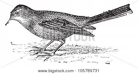 Wagtail, vintage engraved illustration. Dictionary of words and things - Larive and Fleury - 1895.