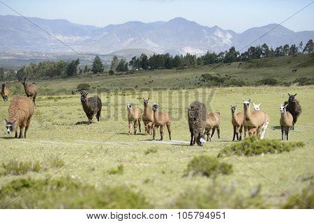 Llamas family on the field.