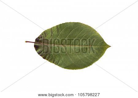 nature, season, summer and botany concept - dry green chokeberry tree leaf