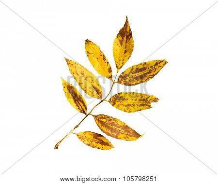 nature, season, autumn and botany concept - dry fallen ash tree leaf