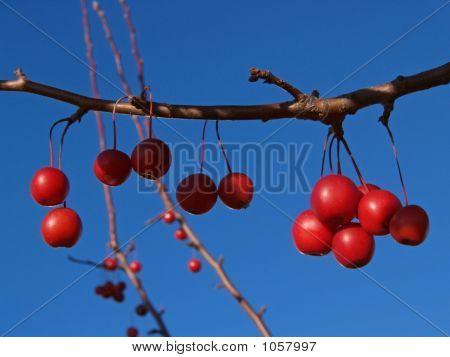 Ornamental Crab-Apple & Lush Red Fruits