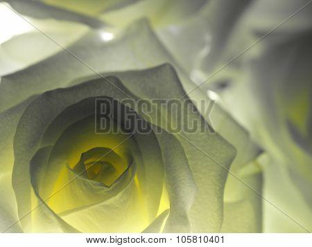 White Rose Backlit Closeup