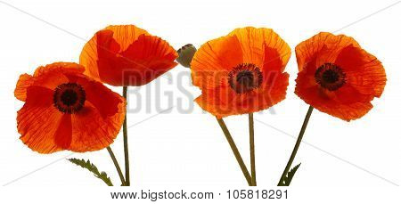 Four Poppies flowers isolated .