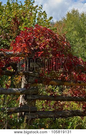 Rural Fence Overgrown With Wild Grapes.