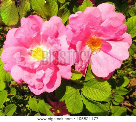 Two Flowers Of Pink Wild Rose (rosehip)