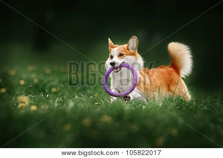 Pembroke welsh corgi dog running