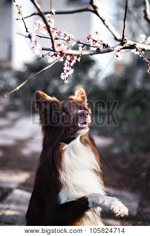 border collie dog portrait on a background of white flowers