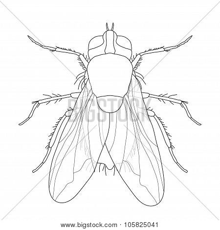 fly. Musca domestica..  Insect. a realistic fly. fly silhouette. fly isolated  on white background.
