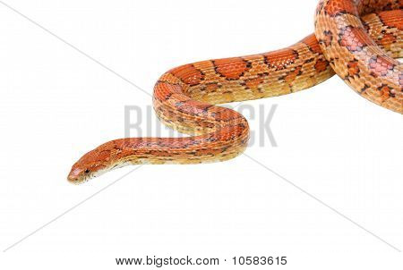 Corn Snake On The White (elaphe Guttata)