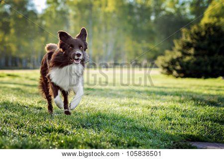 Border Collie dog run