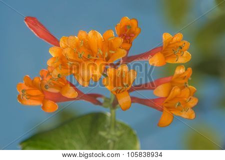 Honeysuckle Brown