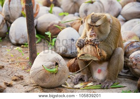 Monkey eats coconut at the coconut plantation at Koh Samui Thailand.