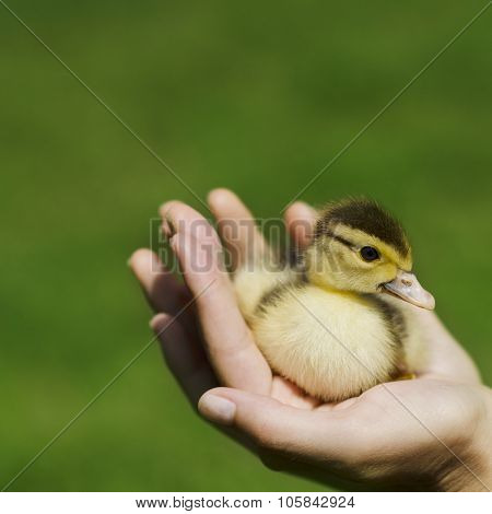 Duckling In The Hand