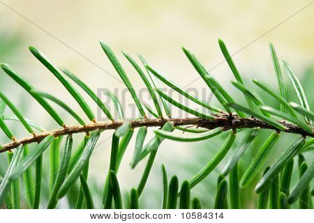 Twig of a fir tree