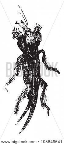 Mole cricket, vintage engraved illustration.
