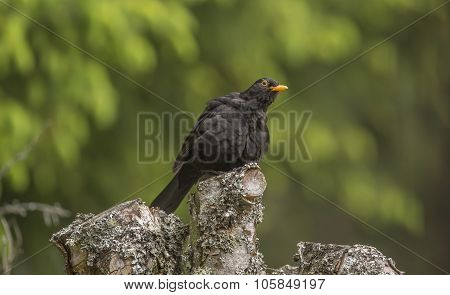 Blackbird Turdus merula male perched on top of a tree trunk fluffed up