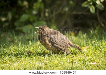 Blackbird Turdus merula juvenile on the grass tweeting