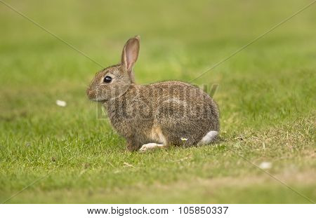 Rabbit, Leporidae, juvenile sitting on the grass