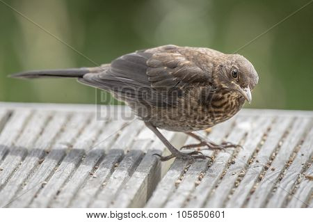 Blackbird Turdus merula juvenile on some decking close up