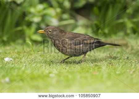 Blackbird, Turdus merula, female on the grass