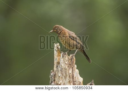 Blackbird Turdus merula juvenile perched on a tree trunk