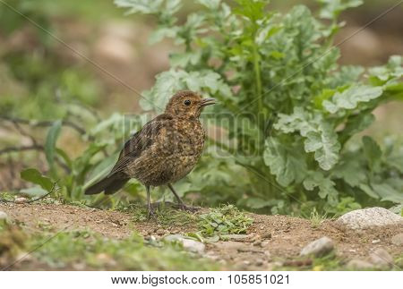 Blackbird Turdus merula juvenile standing on the ground tweeting