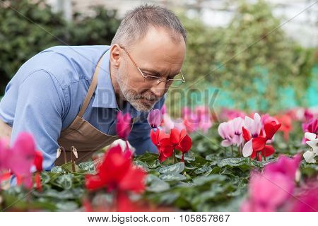 Cheerful old gardener is working at plant nursery