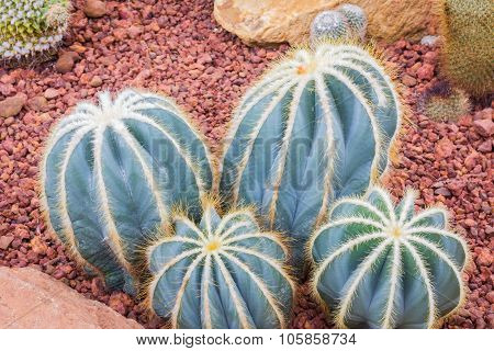 Cactus - Parodia Magnifica (cactaceae)