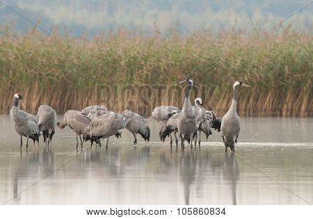 A Group Of Cranes (grus Grus) Standing In The Lake Water