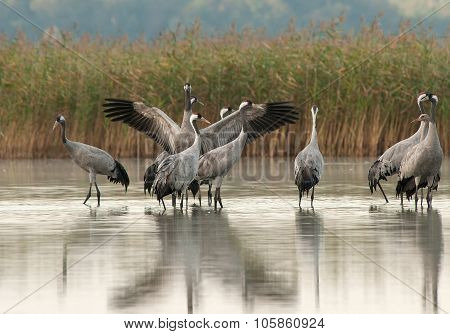 A Group Of Cranes (grus Grus) In The Morning Standing In The Lake
