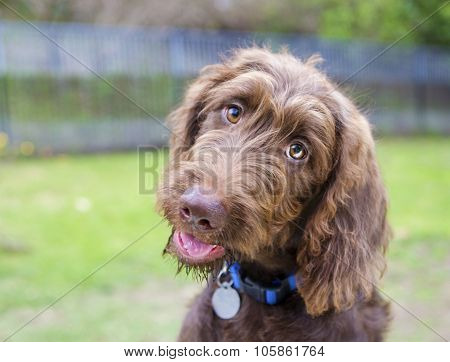 Labradoodle Puppy Smiling