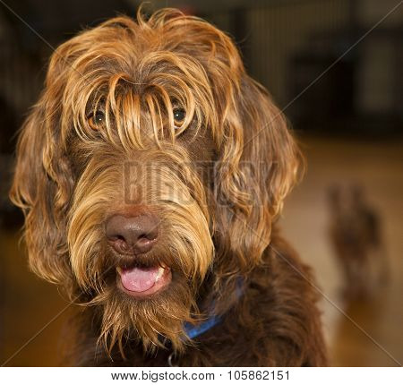 Labradoodle With Chihuahua In Background