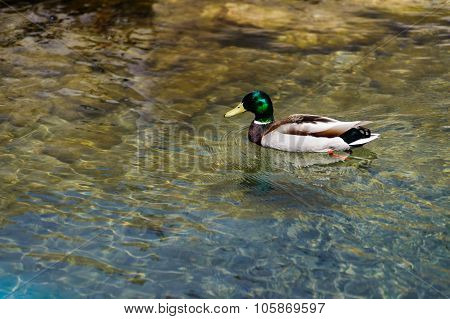 Close View Of Mallard Duck