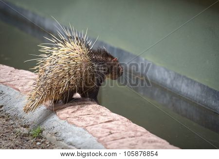 Porcupine By The Water Pool