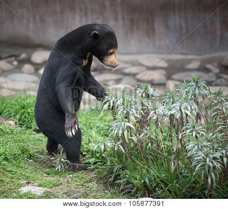 Standing Sun Bear
