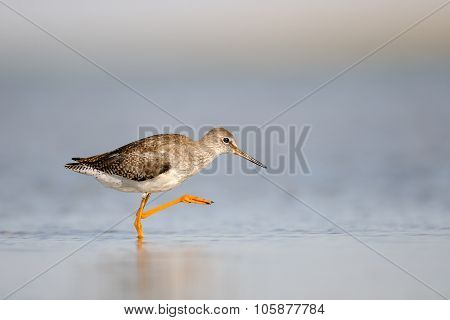 Common Redshank Walking