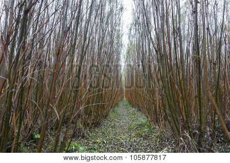 Willow Plants