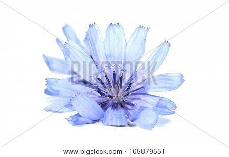 Common chicory Cichorium intybus flower